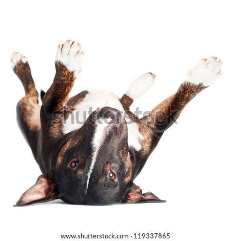 black bull terrier dog lying upside down - stock photo