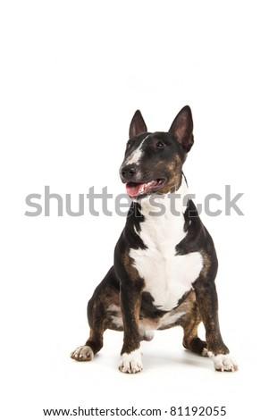 Black bull terrier isolated on white - stock photo