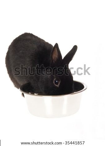 Black bunny drinking water, on white background