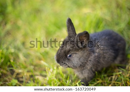 black bunny in the grass - stock photo