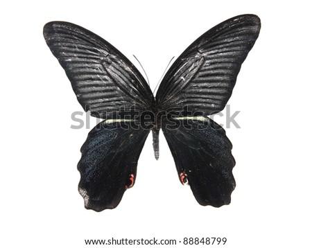 Black  butterflies - stock photo