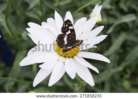 Black butterfly is sitting on clear white chamomile. An example of pollinating process by insect. Image has beautiful contrast between black and white colors. - stock photo