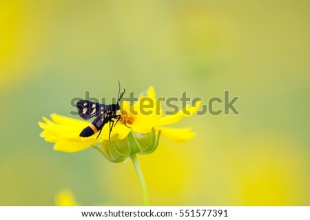 Black butterfly with orange dots on its wings resting on a yellow flower
