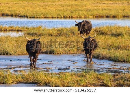 black Camarguais bulls in swamp, southern France