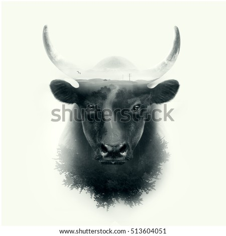 black camargue bull face portrait isolated on white background with double exposure effect