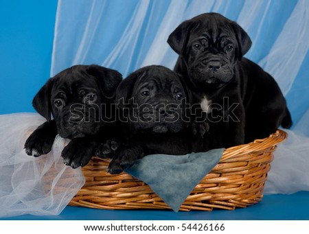 black cane corso puppies in the basket - stock photo
