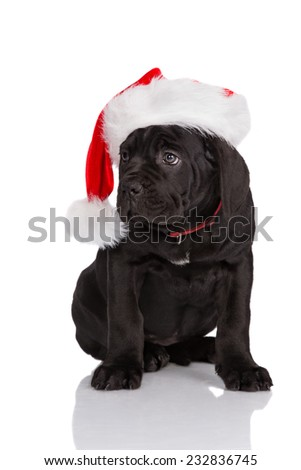 black cane corso puppy in a santa hat - stock photo