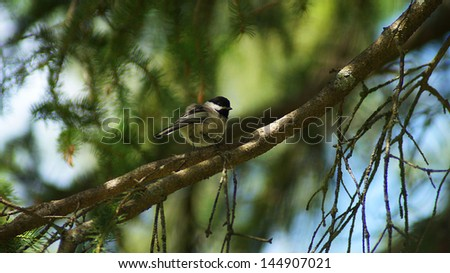 Black Capped Chickadee - stock photo