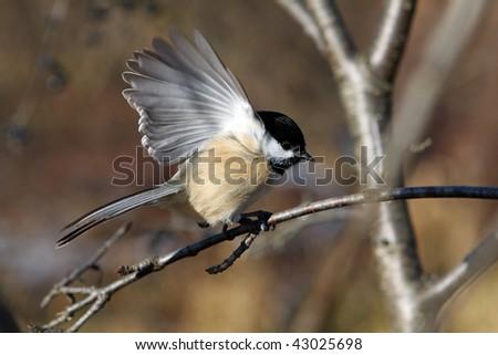 Black-capped Chickadee - stock photo