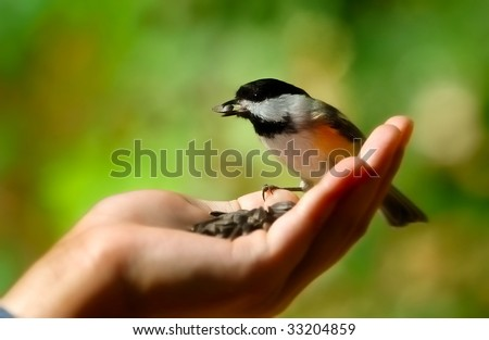 Black Capped Chickadee eating from a hand - stock photo