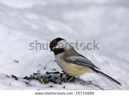 Black capped chickadee eating seeds - stock photo