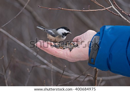 Black-capped chickadee eating seeds from a human hand