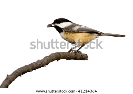 black-capped chickadee eats a sunflower seed while perched on a branch, white background - stock photo