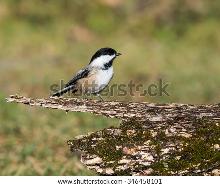 Black-Capped Chickadee in Fall