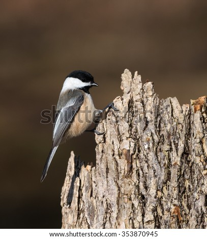 Black-Capped Chickadee in Fall - stock photo