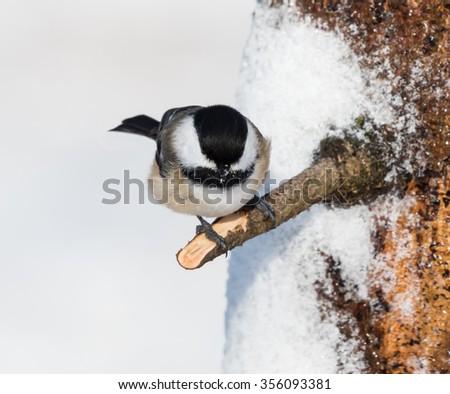 Black-Capped Chickadee in Winter  - stock photo