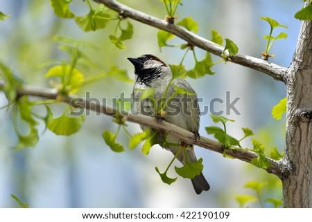 Black-capped chickadee on ginkgo biloba tree - stock photo