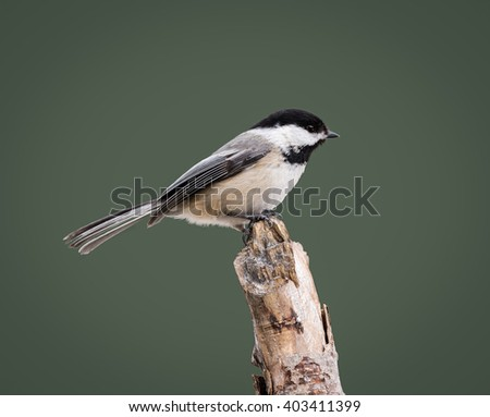 Black-Capped Chickadee on Green Background - stock photo
