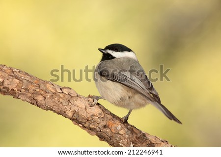 Black capped chickadee perched on a branch - stock photo