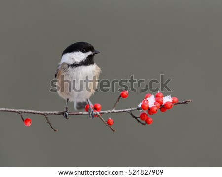 Black-Capped Chickadee Perched on a Branch with Red Berries in Winter