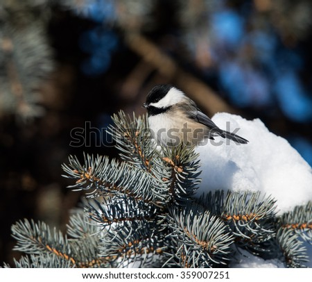 Black-Capped Chickadee Perched on a Pine Tree in Winter  - stock photo