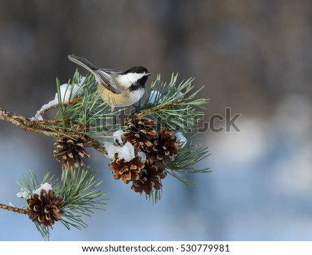 Black-Capped Chickadee Perched on Pie Tree Branch with Cones in Winter