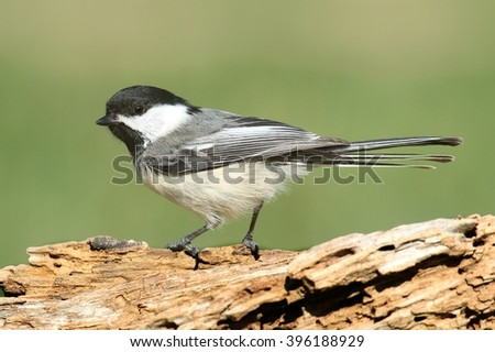 Black-capped Chickadee (poecile atricapilla) on a branch in winter - stock photo
