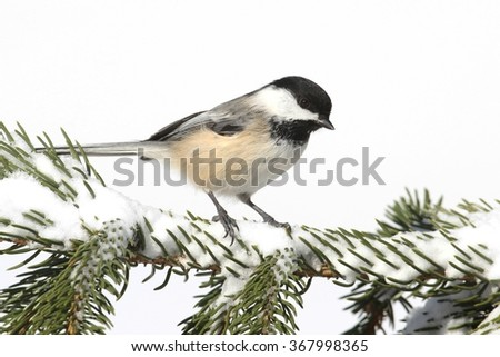 Black-capped Chickadee (poecile atricapilla) on a branch with snow - stock photo