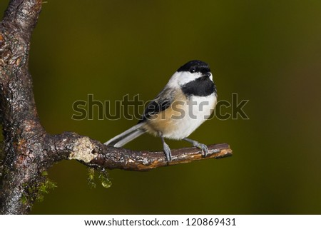 Black-capped Chickadee (Poecile atricapillus). - stock photo