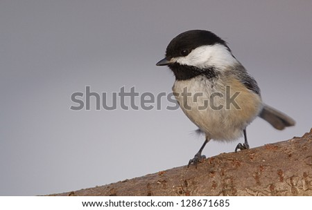 Black-capped Chickadee, poecile atricapillus, at a city metro park near Cleveland, Ohio - stock photo