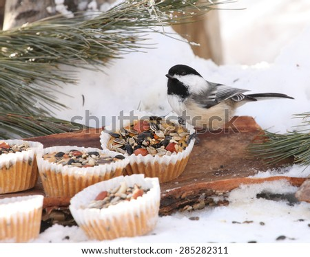 Black-Capped Chickadee  Poecile atricapillus eating seed treats,