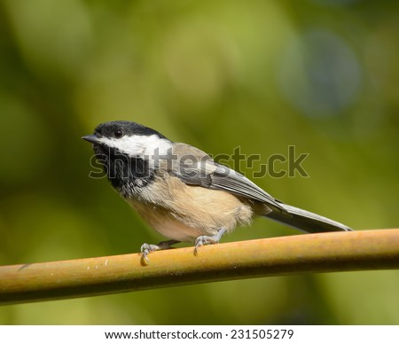 Black-capped chickadee (Poecile atricapillus) perched on a bamboo rail against a blurred green vegetation background.  - stock photo