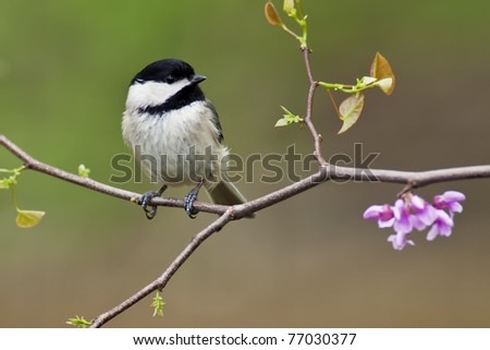 Black-capped Chickadee (Poecile atricapillus) perching on a Eastern Redbud Tree.