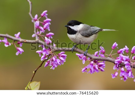 Black-capped Chickadee (Poecile atricapillus) perching on a Redbud Tree - stock photo