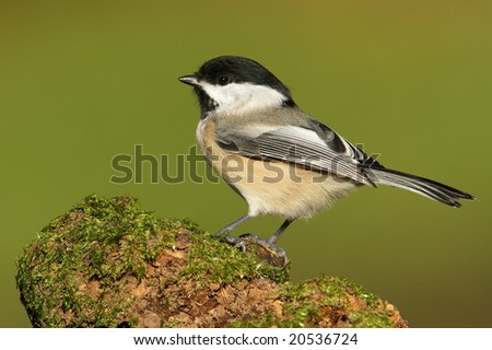 Black-capped chickadee (Poecile atricapillus) posing on green moss. - stock photo