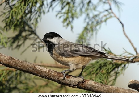 Black capped Chickadee resting on a tree branch. - stock photo