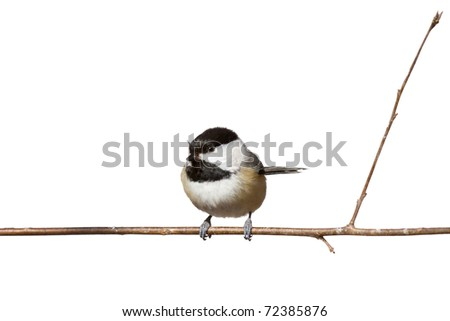 black capped chickadee sits on a branch; white background - stock photo