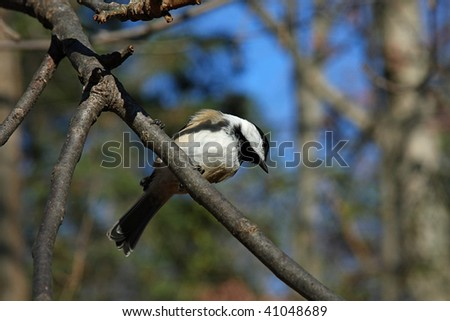 Black-capped Chickadee View From Below - stock photo