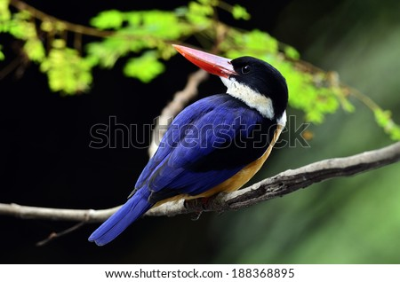 Black-capped Kingfisher bird