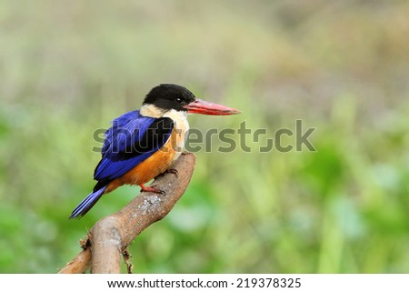 Black-capped Kingfisher Twigs and bird of fish