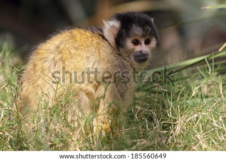 Black-capped squirrel monkey (Saimiri boliviensis) sitting in the grass.