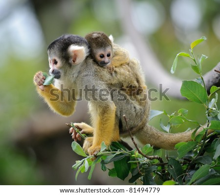 Black-capped squirrel monkey sitting on tree branch with its cute little baby - stock photo
