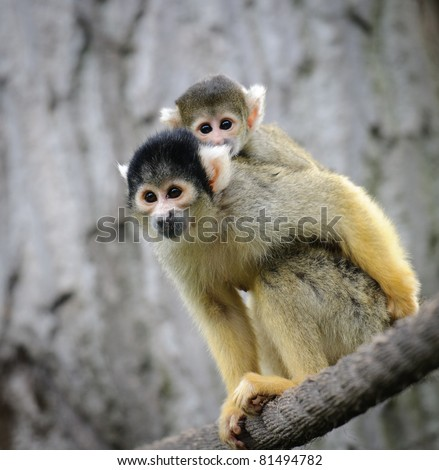 Black-capped squirrel monkey with its cute little baby in zoo - stock photo
