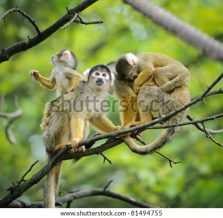 Black-capped squirrel monkeys  sitting on tree branch with their cute little babies - stock photo