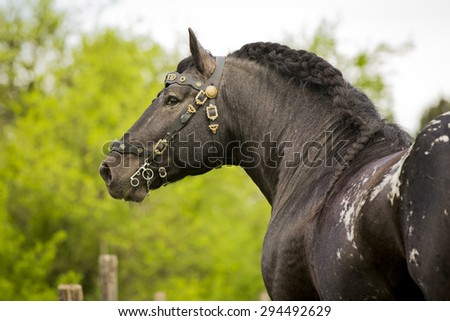 Black Carthorse Stallion Ragnar