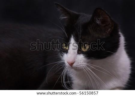 black cat closeup in backgrounds - stock photo