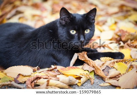 Black cat in autumn leaves close up photo. Animal portrait - stock photo