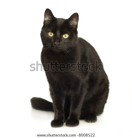 Black Cat in front of a white background - stock photo