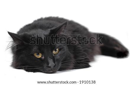 Black cat isolated on white - stock photo