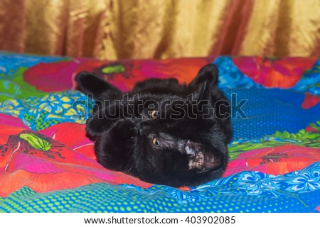 black cat licking its paw - stock photo